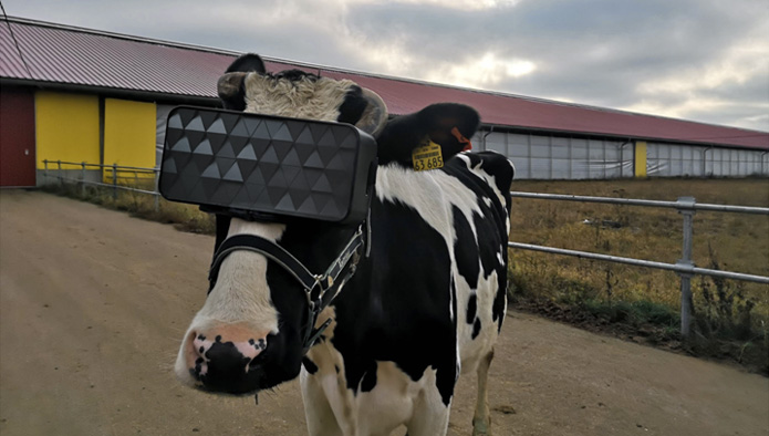 Photo of Russian Farmers Boost Milk Production by Giving VR to Cows
