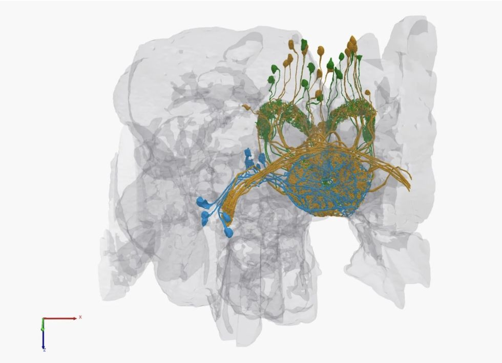 Photo of Google Releases the most complete 3D Model of a Fruit Fly's Brain